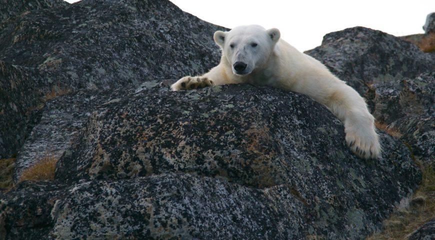 A festa dos ursos polares