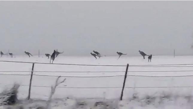 Cangurus na neve da Austrália, cena rara segundo especialistas.
