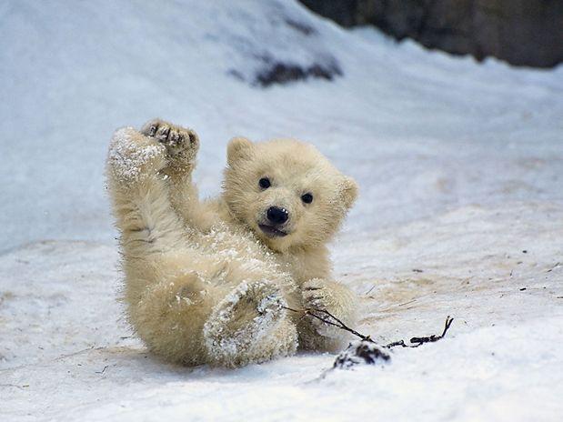 Ursos Polares: 8 curiosidades que você não sabia!