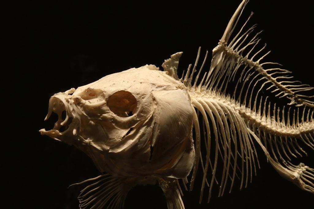 Fóssil de um animal desconhecido, semelhante a um peixe.